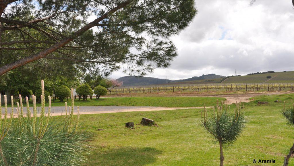 Stellenbosch_vigneti1