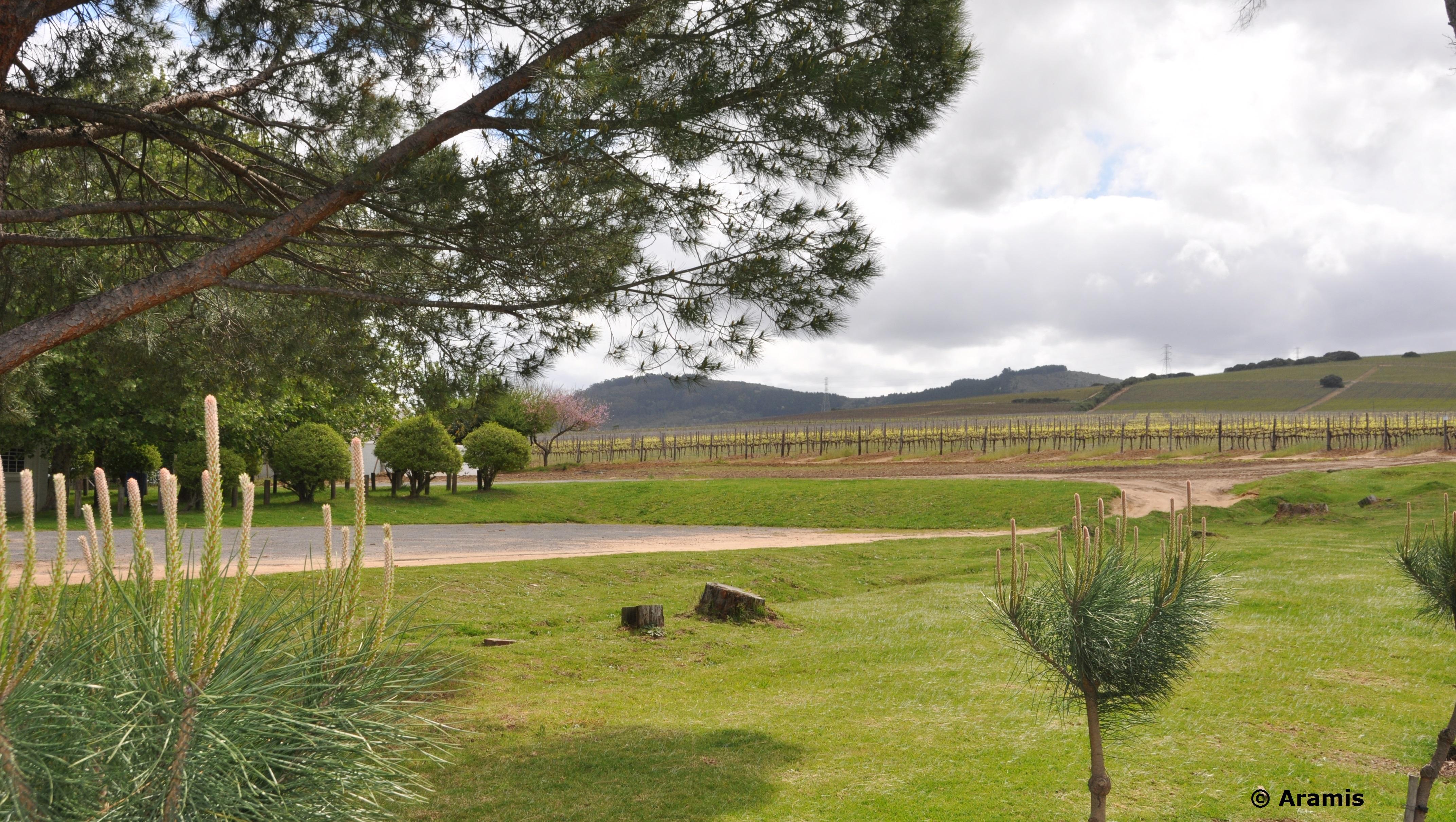 Vigneti_Stellenbosch1