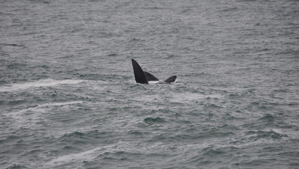 Hermanus avvistamento balene