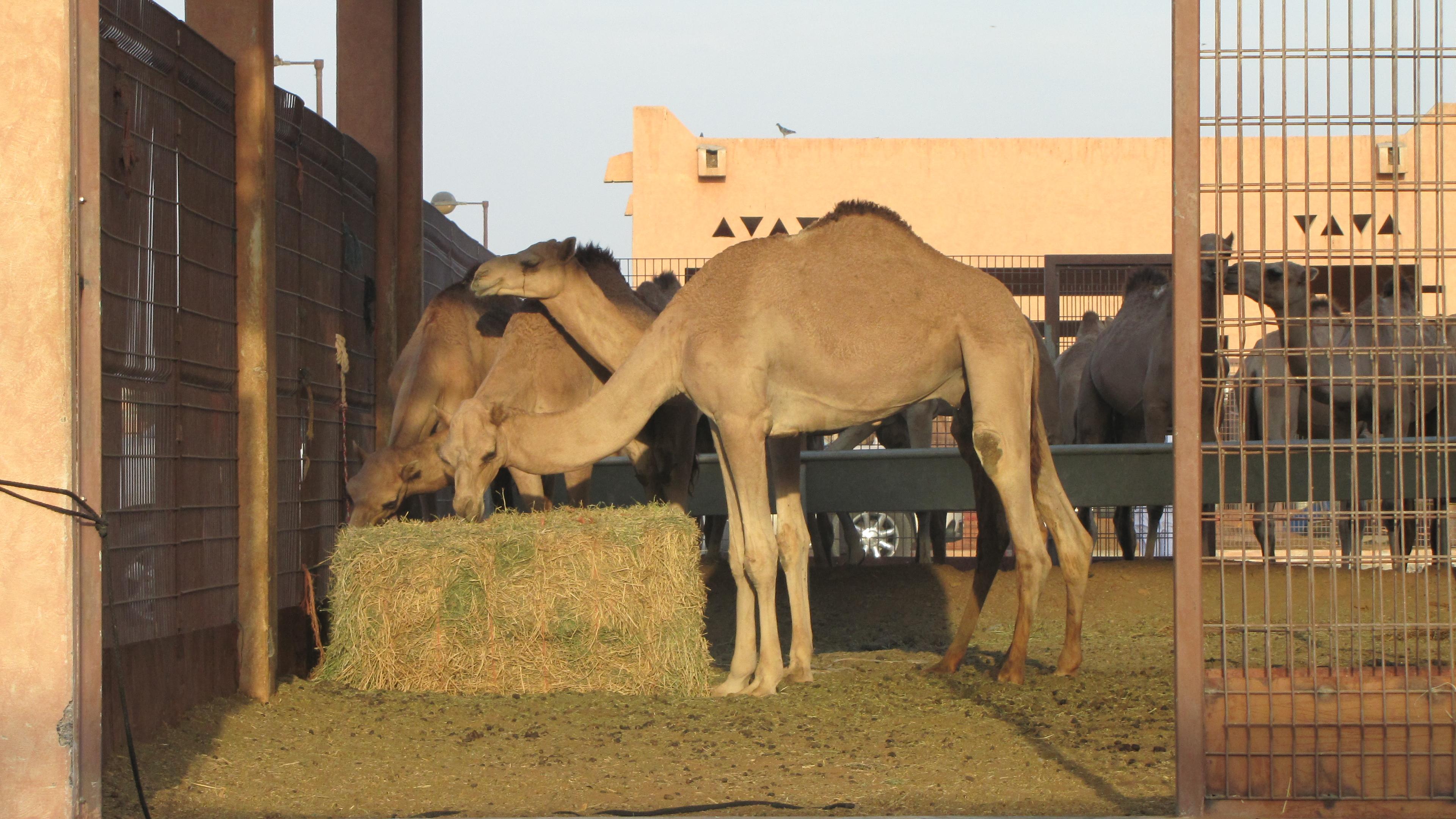 Mercato dei cammelli_Al Ain