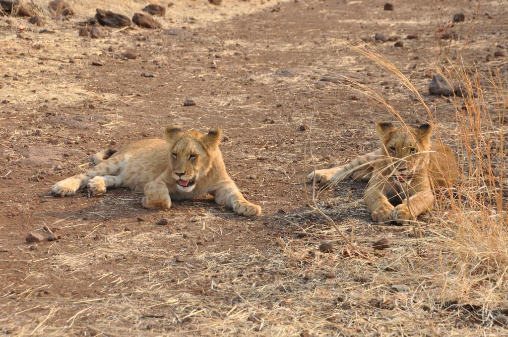 Incontro con i leoni 10