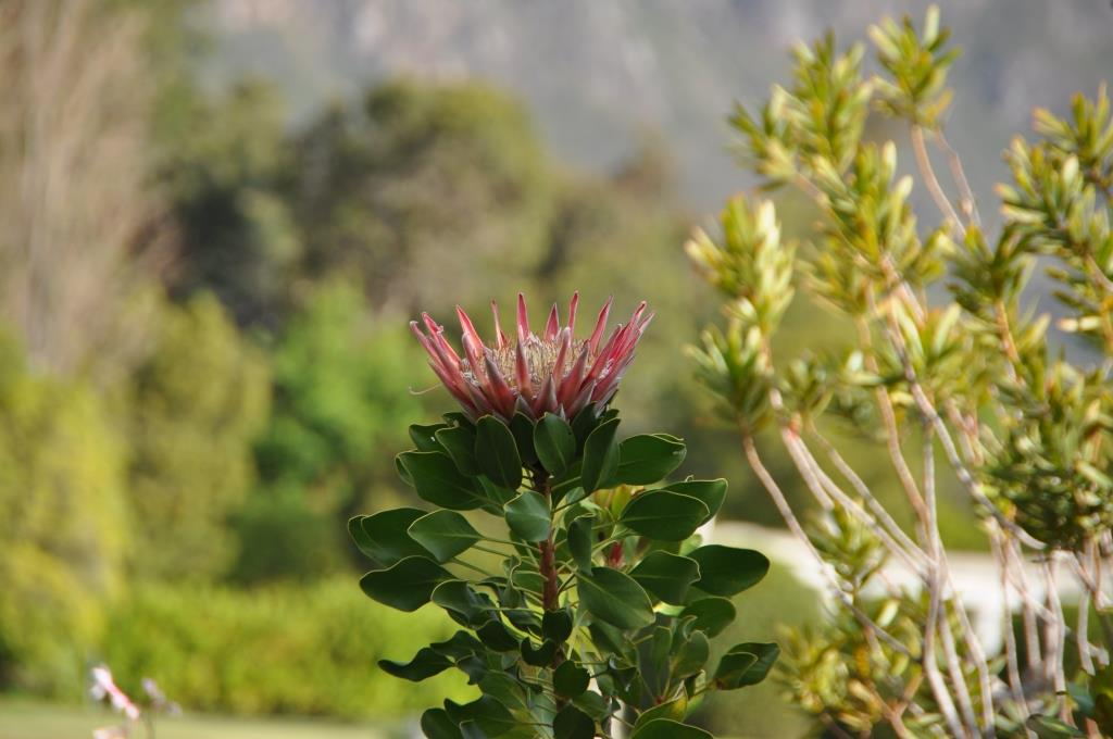 Fiori sudafricani 4