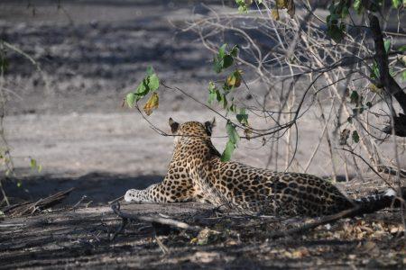 Leopardo Parco Chobe